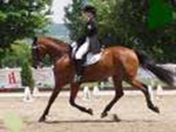 Bay horse trotting during Dressage competition