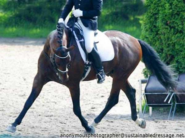 Bay horse ridden in lateral hyperflexion at a competition