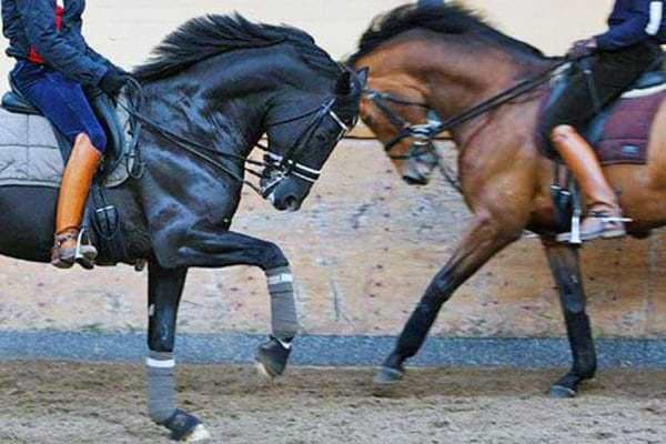 Two horses ridden towards each other in hyperflexion