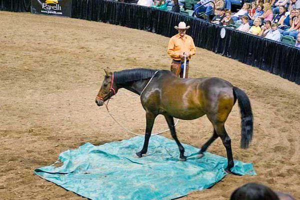 Horse walking over tarp at Pat Parelli Natural Horsemanship Demo