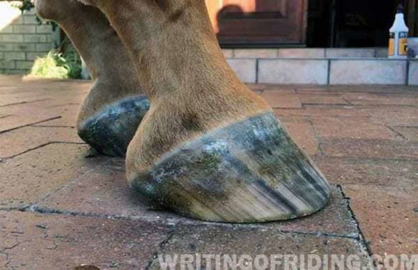 Properly trimmed, barefoot hooves. Healthy hooves are not meant to have long, overgrown heels or toes. Keeping the hooves intentionally overgrown causes pain and disease in the feet that can last the horse's lifetime.