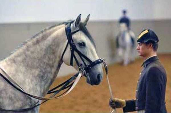 Lipizzaner At The Spanish Riding School Writing Of Riding