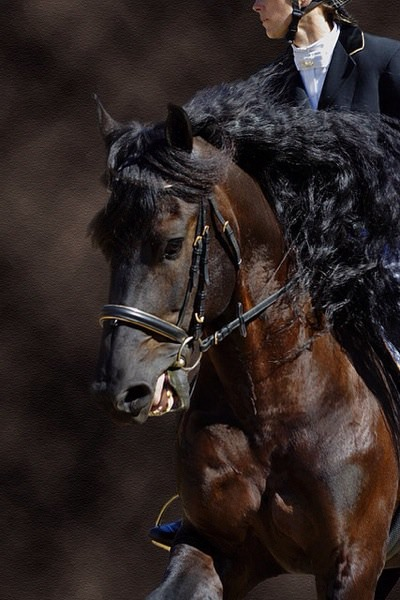 This horse is beautiful, but the riding is deplorable. Even worse is the romanticizing of this bad riding resulting in the reins being pulled on hard enough to cause the horse to try evading the pressure by opening his mouth - but prevented from doing so because of an overtightened caveson.