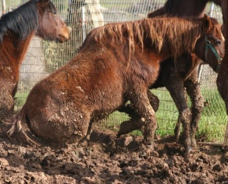 Horses kept in high mud, trip and fall trying to manoeuvre through it.