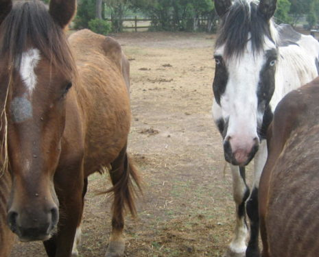 Horses abused through neglect and starvation, stand in a dry lot looking at the camera.